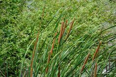Bulrushes [Pic: Shubho Banerjee]