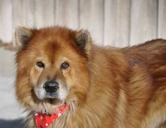 Azlon is an adoption pending Chow Chow Dog in Bunnell, FL. Wow! He is absolutely gorgeous! He's about 5 yrs old, vaccinated, on preventative to treat for heartworms, neutered and microchipped. He is g...