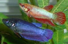 Female bettas. I've read you can keep more than one in a bowl, but I'm cynical. This photo seems to back that up, though.