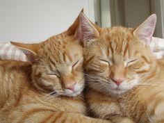 Orange Tabby Cats, Red Cat, Pretty Cats, Beautiful Cats, Cat Couple, Cat Aesthetic, Mundo Animal, Cat Photography, White Cats