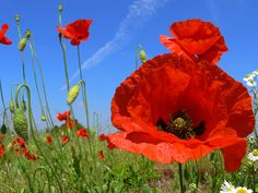 Poppy flower meanings and poppy flower pictures. Including red, California, and golden poppies. Find out about poppy flower seeds and much more at flowerinfo