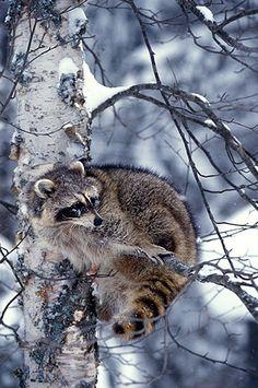 Raccoon in Paper Birch wintertime snows Montana