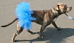 Pitlandia: DIY Dog Tutu Tutorial Best Dog Halloween Costumes, Pet Costumes, Costume Ideas, Haunted Halloween, Halloween Ideas, Dog Tutu, Dog Clothes Patterns, Doll Patterns, Rat Terriers