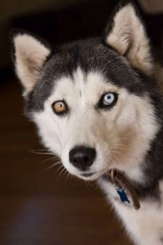 """Someday we'll meet this husky and see the eyes of """"both world"""""""