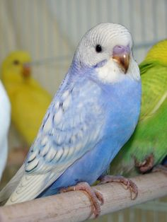 """Neptune"": Raised and hand-fed by us. Violet blue opaline spangle male English budgie x American parakeet cross. Split for greywing; Pictured here as a baby at 4 weeks of age. DOB Nov 2010 from Sunny x Hydrangea. Parakeet Colors, Blue Parakeet, Budgie Parakeet, Budgies, Parrots, Blue Budgie, Parakeet Food, Parakeet Care, Exotic Birds"