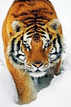 Amazon.com - (24x36) Tiger Snow Art Print Poster -