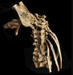 El origen de la columna vertebral que nos hizo humanos