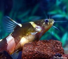 Asian Bumblebee Catfish, Featured item. #asian #bumblebee #catfish #fish #petfish #aquarium #aquariums #freshwater #freshwaterfish #featureditem