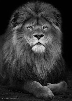 beautiful old lion by Wolf Ademeit on 500px