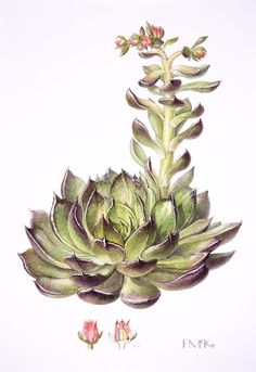 succulents botanical drawings - Google Search