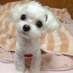 Maltese..........such a cutie pie!!! for sure!! Kiss!!!