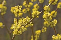 Spicebush (Lindera benzoin; Zones 4-9), sometimes called northern spicebush, is a lovely, native American woodland shrub that thrives in partial shade, such as it would have at the edge of a forest clearing. Spicebush grows to 10 feet tall, with pretty, teardrop-shaped leaves 2 to 5 inches long.