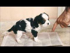 Como enseñar a un perro a hacer sus necesidades en un solo lugar - Jose Arca - Veterinario Online - YouTube King Charles Spaniel, Cavalier King Charles, Schnauzer, Baby Puppies, Happy Animals, Westies, Archie, Dog Care, Shih Tzu