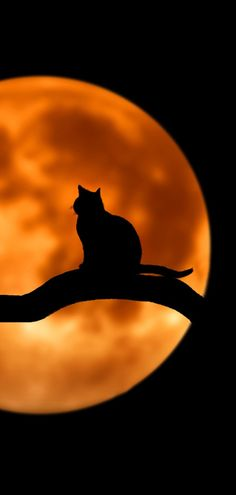 Great Halloween Cat Sitting on a Tree Branch and Harvest Moon. Halloween Pictures, Cute Halloween, Crazy Cat Lady, Crazy Cats, I Love Cats, Cool Cats, Cat Tree Plans, Kitten Meowing, Jolie Photo