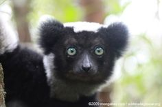 The Indri lemur of Madagascar. Such a beautiful creature! Their call is even more beautiful! I had the opportunity of being able to interact with these guys, such an amazing animal!