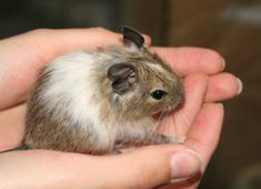 A Degu is a small mammal native to Chile. They are a rodent that is related to chinchillas and guinea pigs.
