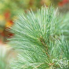 Pines are landscape workhorses. They are a top choice for screening a view or wrapping a patio with lovely green privacy, providing interest along a foundation, or as an eye-catching focal point in the landscape.