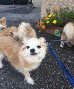 ちょっと変顔ですがたのしいそうです  #こんな顔あげられたら泣くわ #chihuahua #dog #dogoftheday #dogofthedayjp #dogsofinstagram #チワワ #ふわもこ部 #chihuahuadog #chihuahuaofinstagram #animal #onlychihuahua  #しっぽふぁさ部