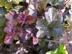 (ECB) Exsisting Coral Bells, Heuchera sp. INFO LINK. *Note: transplant existing purple coral bells. Can be supplemented with any purple variety. Variety pictured here is 'Obsidian'.