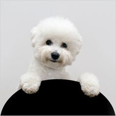 Bichon Frise. Aren't they the cutest ever?