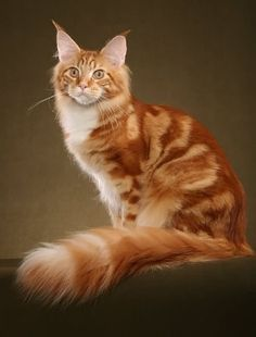 Te Go Çı: Maine Coon Cat