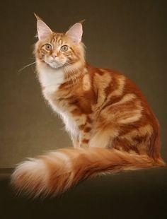 Te Go Çı: Maine Coon Cat
