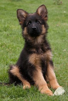 GORGEOUS German Shepherd Puppy, PRETTY BLACK FACE & MARKINGS RIGHT DOWN TO THE BLACK BORDER ON EARS.  SUCH AN ALERT FACE. ~