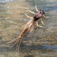 Articulating Hexagenia Limbata (Dark Hex) nymph #flyfishing #flytying #nymphs #nymphing #hexagenialimbata #hexagenia #articulatedfly #realisticflytying #realisticfly #pressuredwaters #troutbum #troutfood #troutcandy