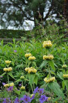 Phlomis russeliana, in het nederland gekend onder de naam brandkruid of etagebloem is een wintergroene vaste plant met een opgaande polvormende habitus en grijsgroene tot bijna zilvergrijze, salie achtige ovale bladeren. De plant bloeit in juni en juli met geurende, botergele bijna dovenetelachtige bloemen gevolgd door fraaie decoratieve zaaddozen. Phlomis russeliana houdt van een standplaats in volle zon en een goed doorlaatbare vruchtbare grond, brandkruid is verder ook goed ...