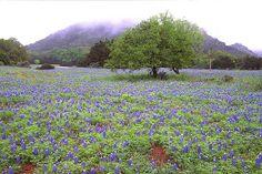 Can't miss the Texas wildflowers...near Fredericksburg, TX