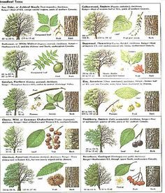 How Can Leaves Identify A Tree Phenology Science With Grambo