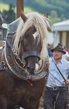 Draft horse - Percheron - title The Strongest Horses