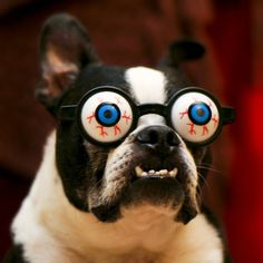 boston terrier funny - Buscar con Google