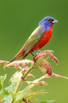 earth-song:    Painted Bunting