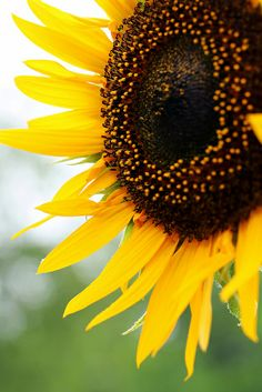 Sunflower, Kansas State Flower
