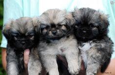 Tibetansk Spaniel puppies