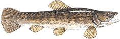 Peixe Traíra | Peixes
