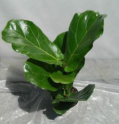 This listing is for 1 Ficus Lyrata Plant in 6 inch pot. It is currently about 18 tall. It is a beautiful and perfect indoor specimen. It