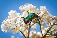 Credit: Frank Rumpenhorst/EPA A rose chafer climbs over blossom in Frankfurt, Germany