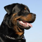 A complete guide to Rottweilers. All the tips, advice and information owners need to take care of the incredible Rottweiler dog. Includes puppy care, training, feeding, behavior and much more