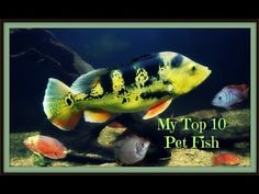 Brought back many memories making this video! This video includes footage of the top 10 fish that I've kept out of the that I've housed in my aquariums. Cichlid Fish, Cichlids, Oscar Fish, Pet Fish, Fish Tank, Fresh Water, Turtle, Aquarium, Youtube