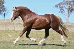 Wingana Gideon - Section C Welsh-Cob-Stallion - 13.2hh