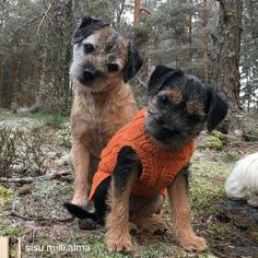 Border Terrier Puppy, Terrier Puppies, Cute Puppies, Dogs And Puppies, Cute Dogs, Animals Beautiful, Cute Animals, Bluetick Coonhound, Cute Borders