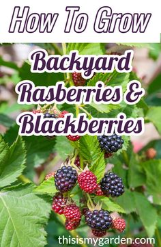 Everything you need to know about growing backyard raspberries & blackberries. Everything you need to know about growing backyard raspberries & blackberries. Home Vegetable Garden, Fruit Garden, Edible Garden, Garden Plants, Shade Garden, Growing Fruit Trees, Growing Grapes, Growing Plants, Dwarf Fruit Trees