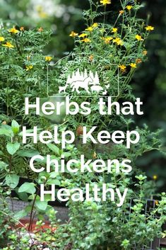 What Herbs Keep Chickens Healthy? - Timber Creek Farm What Herbs Keep Chickens Healthy? Plants For Chickens, Raising Backyard Chickens, Keeping Chickens, Pet Chickens, Urban Chickens, Chicken Garden, Backyard Chicken Coops, Diy Chicken Coop, Chicken Coup