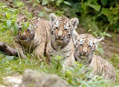 Image: The three cubs of Amur tiger Elena play in an enclosure at the zoo in Zurich (© ARND WIEGMANN//Reuters)