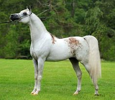 Arabian stallion, Shakir El Marwan. Highly prized bloody shoulder gray.