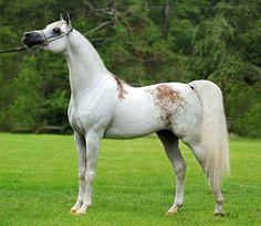 Arabian stallion, Shakir El Marwan. Highly prized bloody shoulder gray.