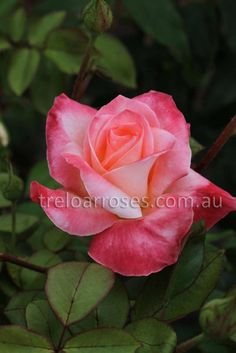 Diana Princess Of Wales* :- This exhibition rose has the most pleasant blending of colours.