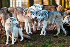 White Wolf : 42 Amazing Truths About Wolves Everyone Should Know How many wolves are in a pack? It varies. Sometimes there are just two, a male and a female. Usually the pack consists of the breeding pair and their offspring of the present year.